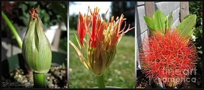 Photograph - From Bud To Bloom - African Blood Lily by J McCombie