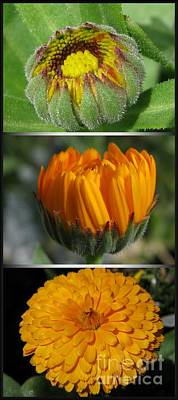 Photograph - From Bud To Bloom - Calendula Named Bon-bon Orange by J McCombie