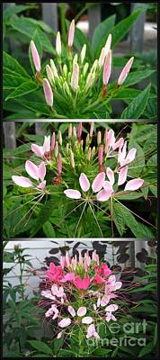 Photograph - From Bud To Bloom - Cleome Named Pink Queen by J McCombie