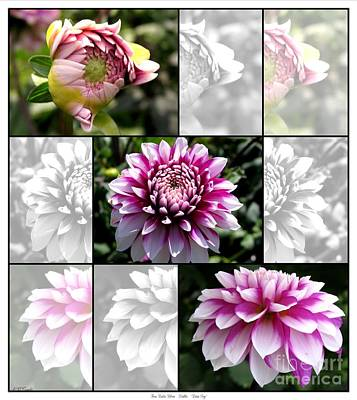 Photograph - From Bud To Bloom - Dahlia Named Brian Ray by J McCombie