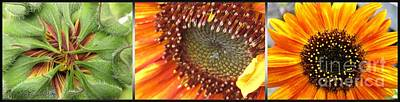 Photograph - From Bud To Bloom - Sunflower by J McCombie