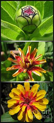 Photograph - From Bud To Bloom - Zinnia by J McCombie