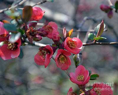 From Quince I Came Art Print by Brenda Dorman