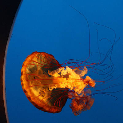 Jelly Fish Art Photograph - From The Deep - Jelly Fish by Suzanne Gaff
