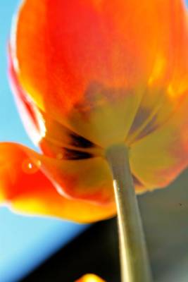 Flower Photograph - From The Tulip Up by Emily Stauring
