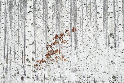 Birch Photograph - From White by Donghee, Han