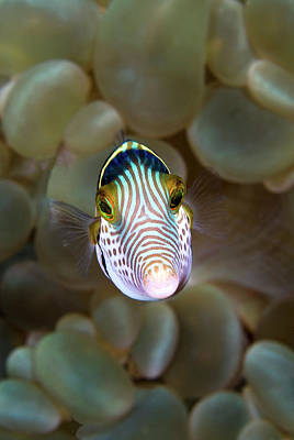 Undersea Photograph - Front Close-up Of Pufferfish by Jaynes Gallery