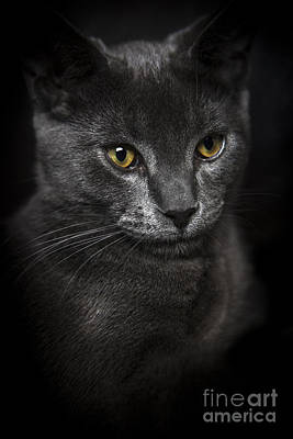 Front View Of Chartreux Kitten 5 Months Old Black Background Original by Joel  Bourgoin