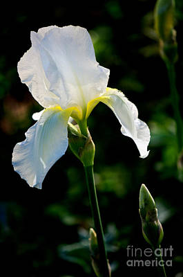 Photograph - Front Yard Iris by Vinnie Oakes