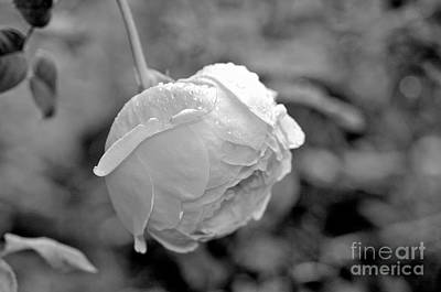 Photograph - Front Yard Rose B/w by Vinnie Oakes