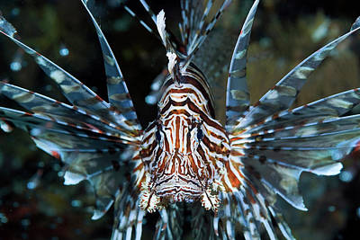 Undersea Photograph - Frontal Close-up Of Poisonous by Jaynes Gallery