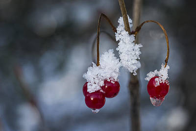 Photograph - Frost Berries by Ted Raynor