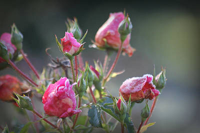 Photograph - Frost Kissed Roses by Katie Wing Vigil
