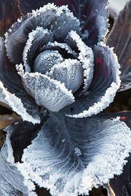 Red Cabbage Photograph - Frost On Red Cabbage by Ashley Cooper