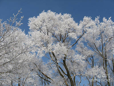 Photograph - Frost On The Elms by Conni Schaftenaar