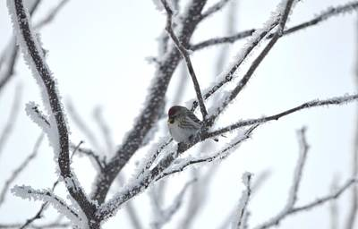 Art Print featuring the photograph Frosted Branches by Dacia Doroff