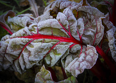 Photograph - Frosted Chard by Christopher Burnett