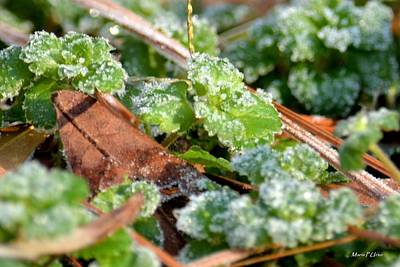 Photograph - Frosted Clover by Maria Urso