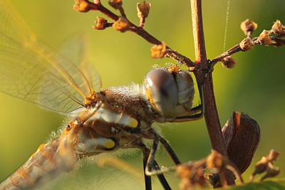 Photograph - Frosted Dragonfly by Kristy Jeppson