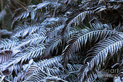 High Iso Photograph - Frosted Ferns by Diana Jo Marmont