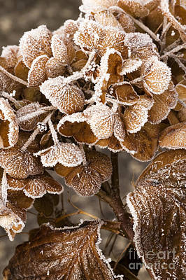 Frosted Hydrangea Art Print by Anne Gilbert