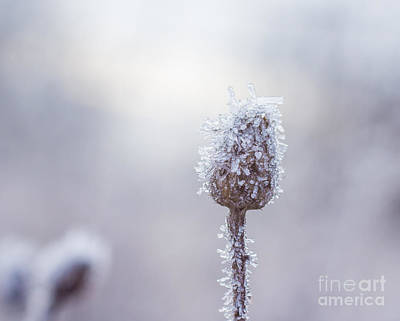 Photograph - Frosted by Julie Clements