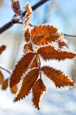 Photograph - Frosted Leaves by Terry Elniski