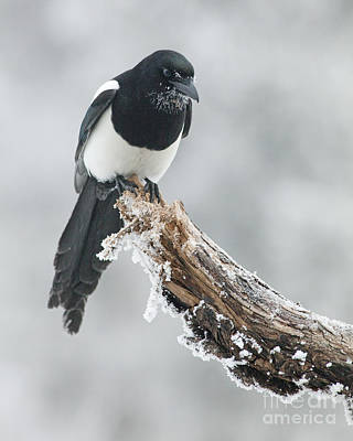 Magpies Photograph - Frosted Magpie by Tim Grams