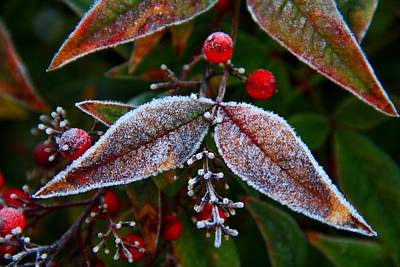 Photograph - Frosted Nandina Leaves by Kathryn Meyer
