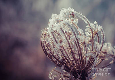 Photograph - Frosted Queen by Julie Clements