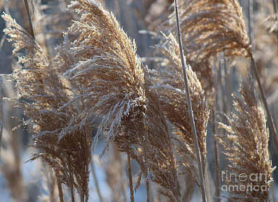 Photograph - Frosted River Plants by Jackie Farnsworth