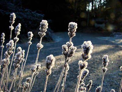 Frosted Art Print by Ronda Broatch