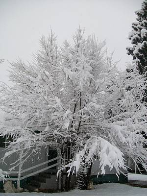 Photograph - Frosted Tree by Jewel Hengen