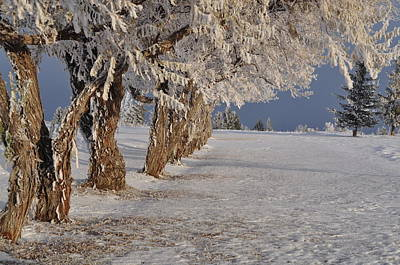 Photograph - Frosted Trees by Fran Riley