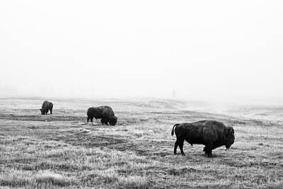 Frosty Bison Print by Mark Kiver