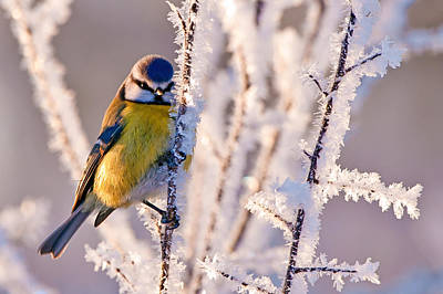 Not Your Everyday Rainbow - Frosty Blue Tit by Torbjorn Swenelius