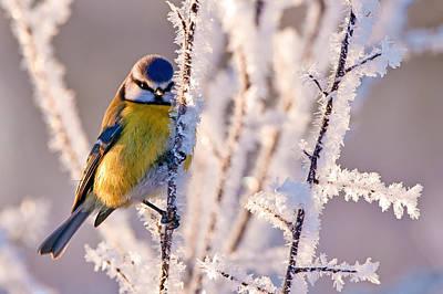 Parus Photograph - Frosty Blue Tit by Torbjorn Swenelius