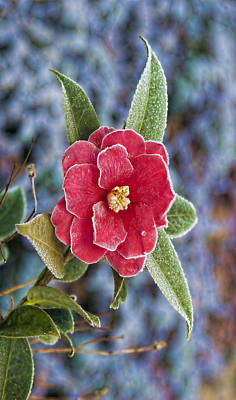 Photograph - Frosty Camellia - Phone Case Design by Gregory Scott