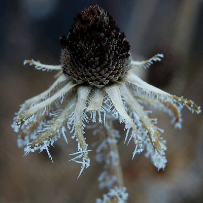 Photograph - Frosty Coneflower Closeup by Dakota Light Photography By Dakota