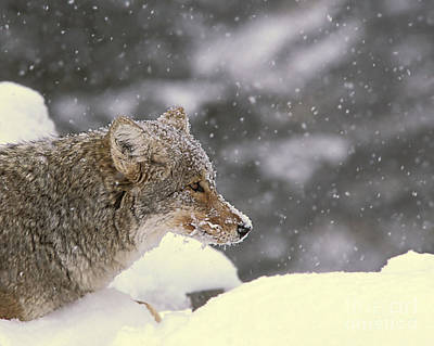 Photograph - Frosty Coyote by Gary Beeler