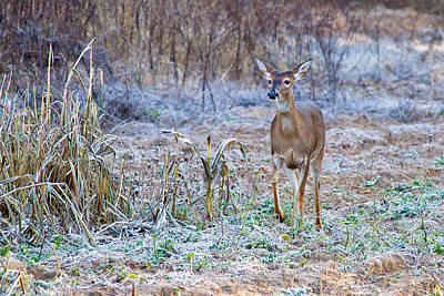 Photograph - Frosty Doe by Dan Wells