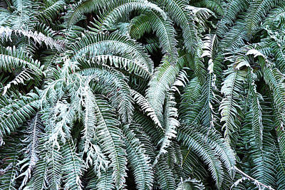Photograph - Frosty Ferns by Brian Chase