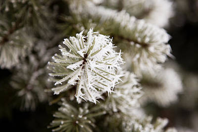 Photograph - Frosty Fir by Crystal Cox