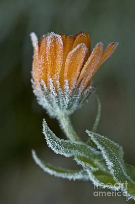 Photograph - Frosty Flower by Alana Ranney
