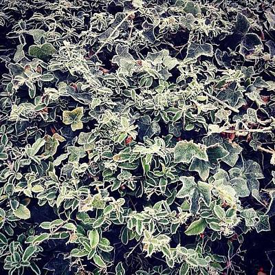 Natural Photograph - Frosty Hedge by Nic Squirrell