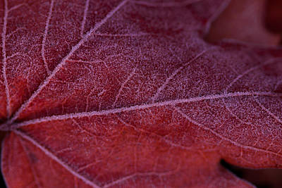 Photograph - Frosty Leaf by Haren Images- Kriss Haren