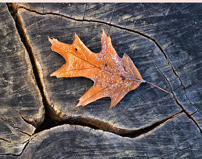 Photograph - Frosty Leaf On Tree Trunk by Gary Slawsky