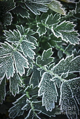 Ice Crystal Photograph - Frosty Leaves In Late Fall by Elena Elisseeva
