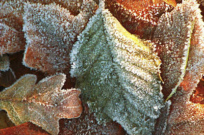 Photograph - Frosty Leaves by Sharon Talson