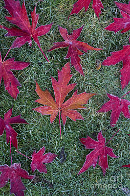 Maple Leaf Art Photograph - Frosty Maple Leaves by Tim Gainey